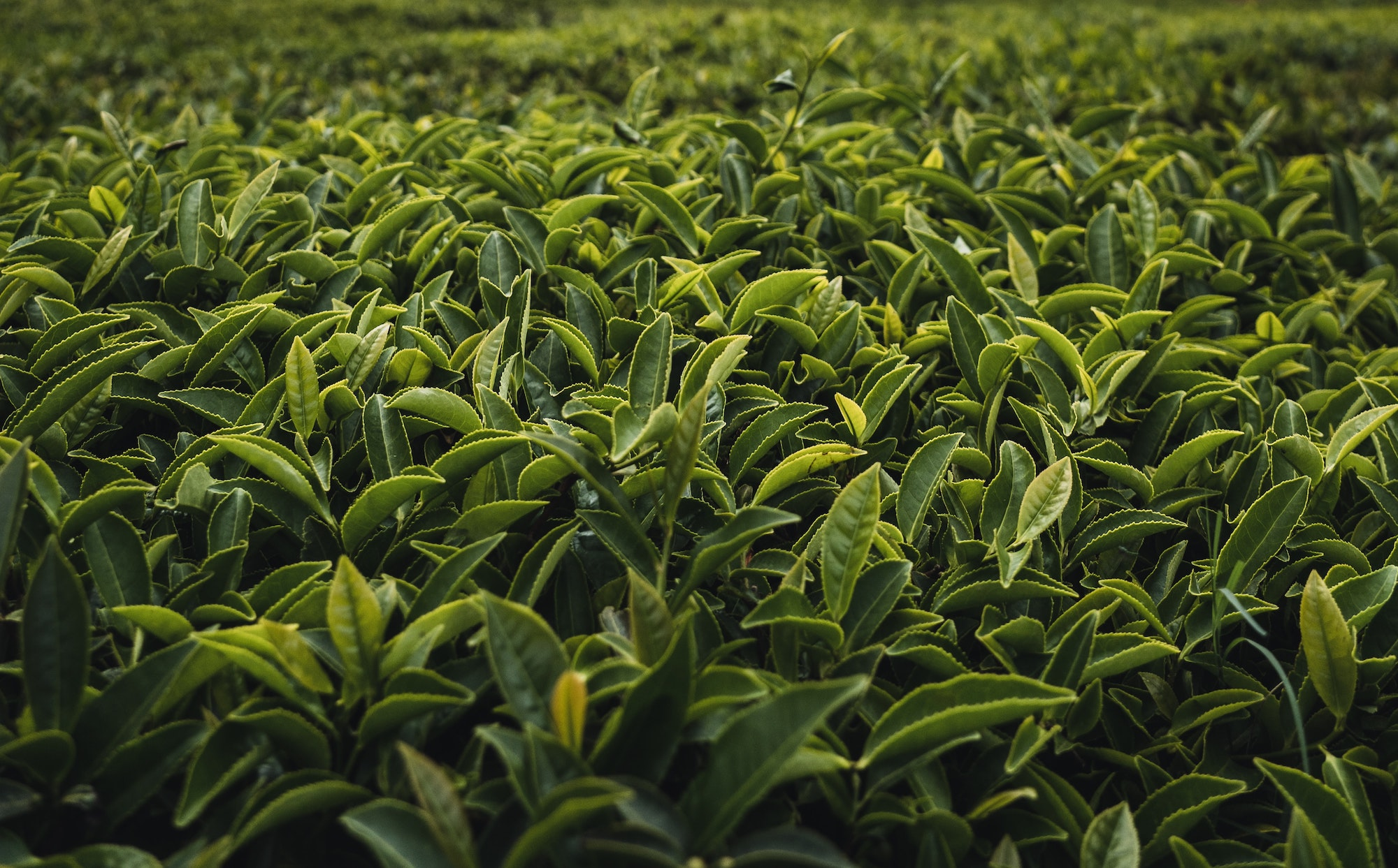 tea estate in Kerala, India