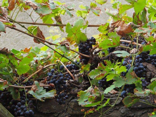 Local wine Wachau Valley