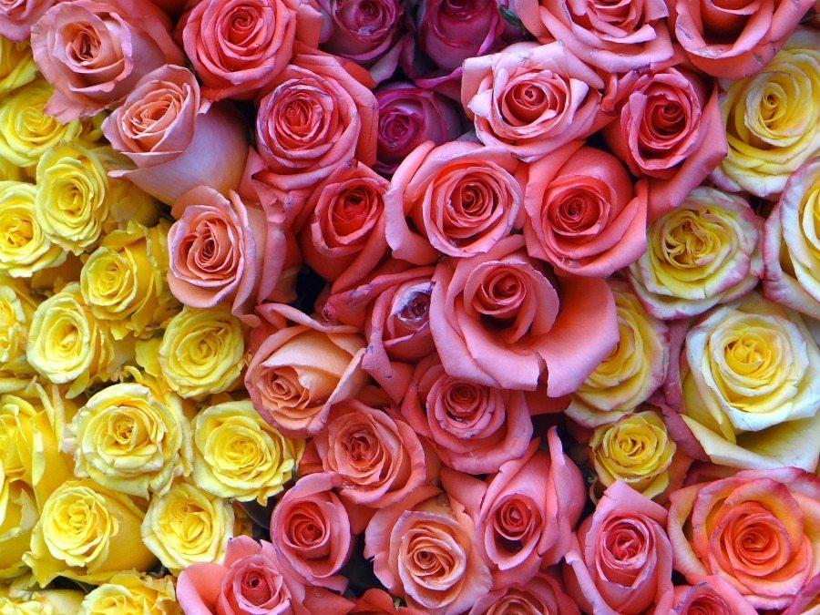 rose farms in Ecuador