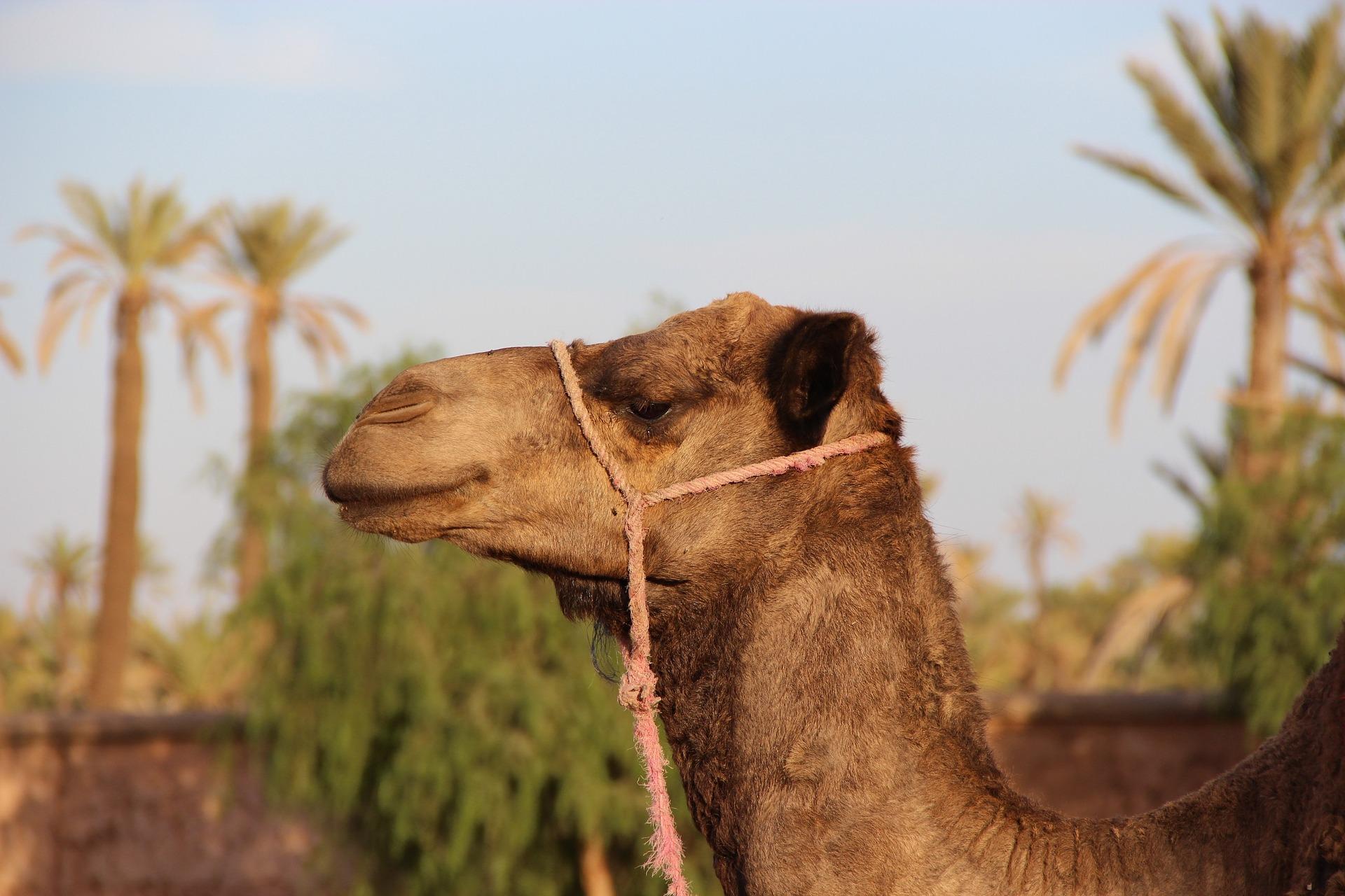 camel-1494724_1920